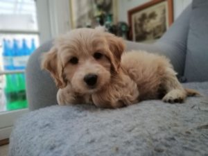 Labradoodle puppy from outside of Minnesota