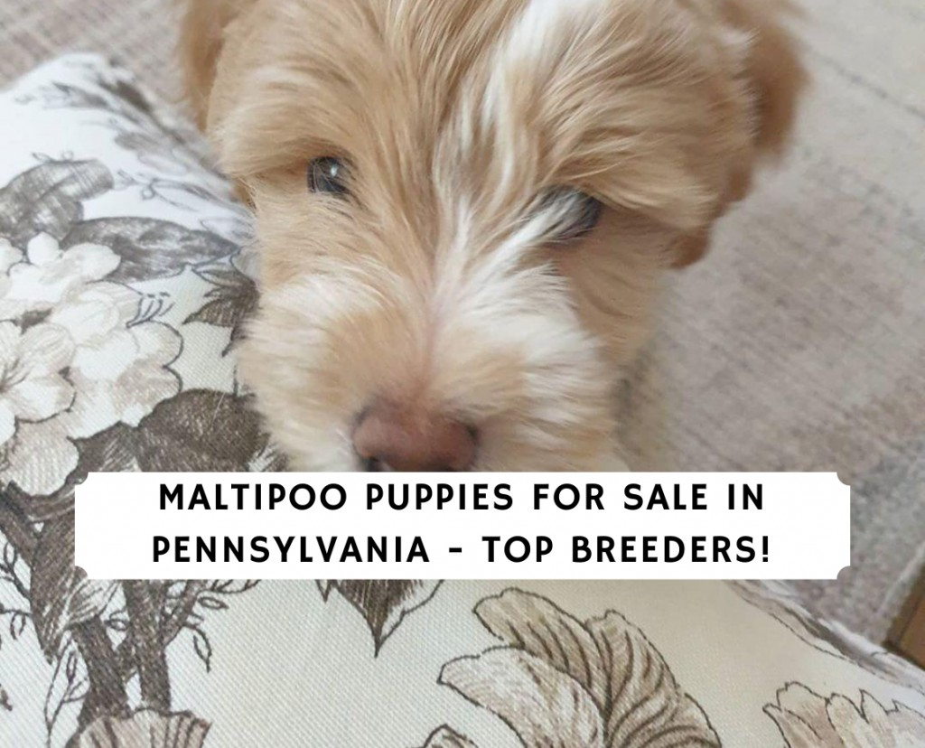 Maltipoo Puppies for Sale in Pennsylvania