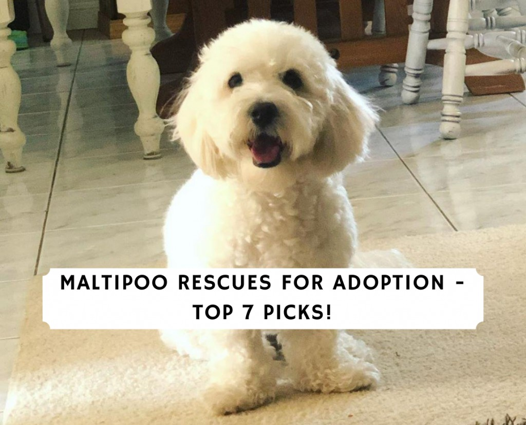Maltipoo Rescues for Adoption
