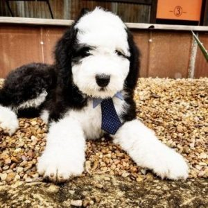Oodles of Doodles sheepadoodle rescue