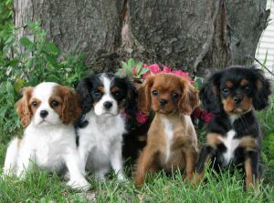 Our Family Cavaliers