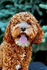 Power Goldendoodles ID