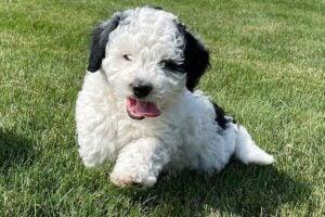 PuppySpot Bernedoodles Texas