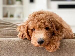 PuppySpot Goldendoodles Minnesota