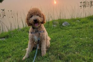 PuppySpot Goldendoodles New Jersey