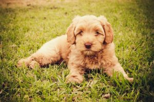Rainbow Row Labradoodles GA