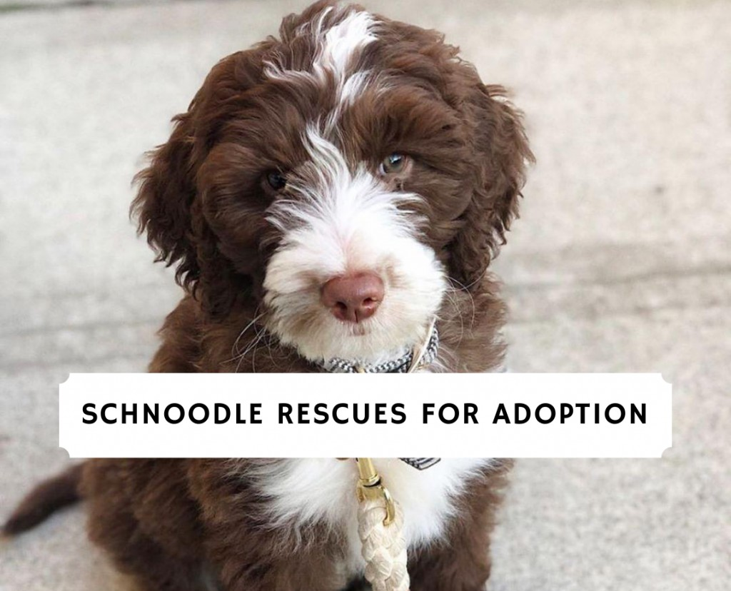 Schnoodle Rescues for Adoption