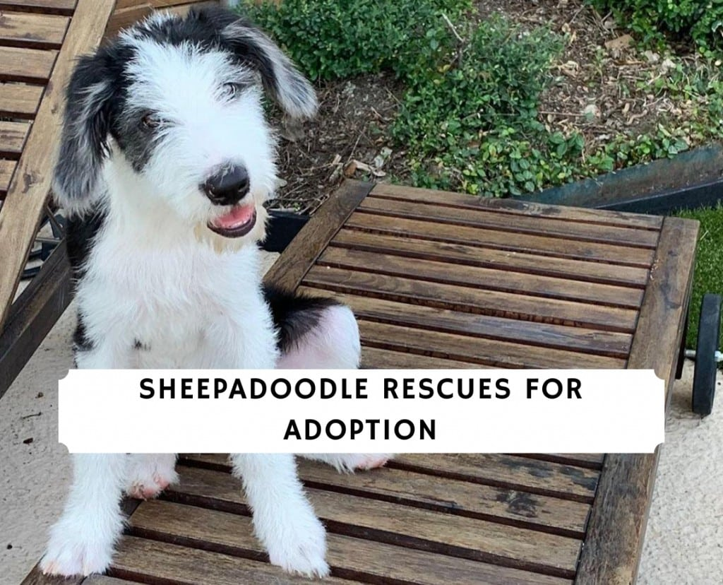Sheepadoodle Rescues for Adoption