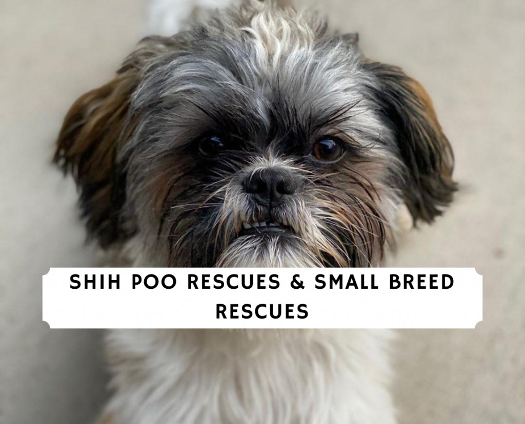 Shih Poo Rescues & Small Breed Rescues