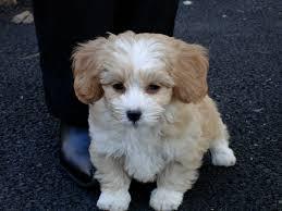 Shih Poo rescue dog