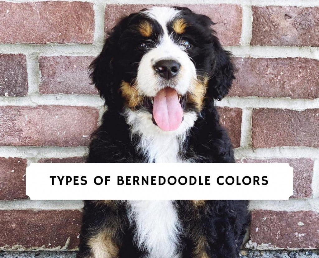 Types Of Bernedoodle Colors