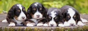 Walnut Valley Puppies