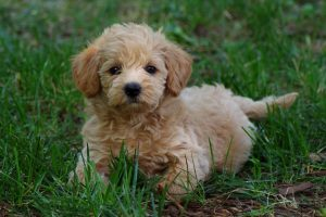 What You Need to Know Before Adopting a Schnoodle