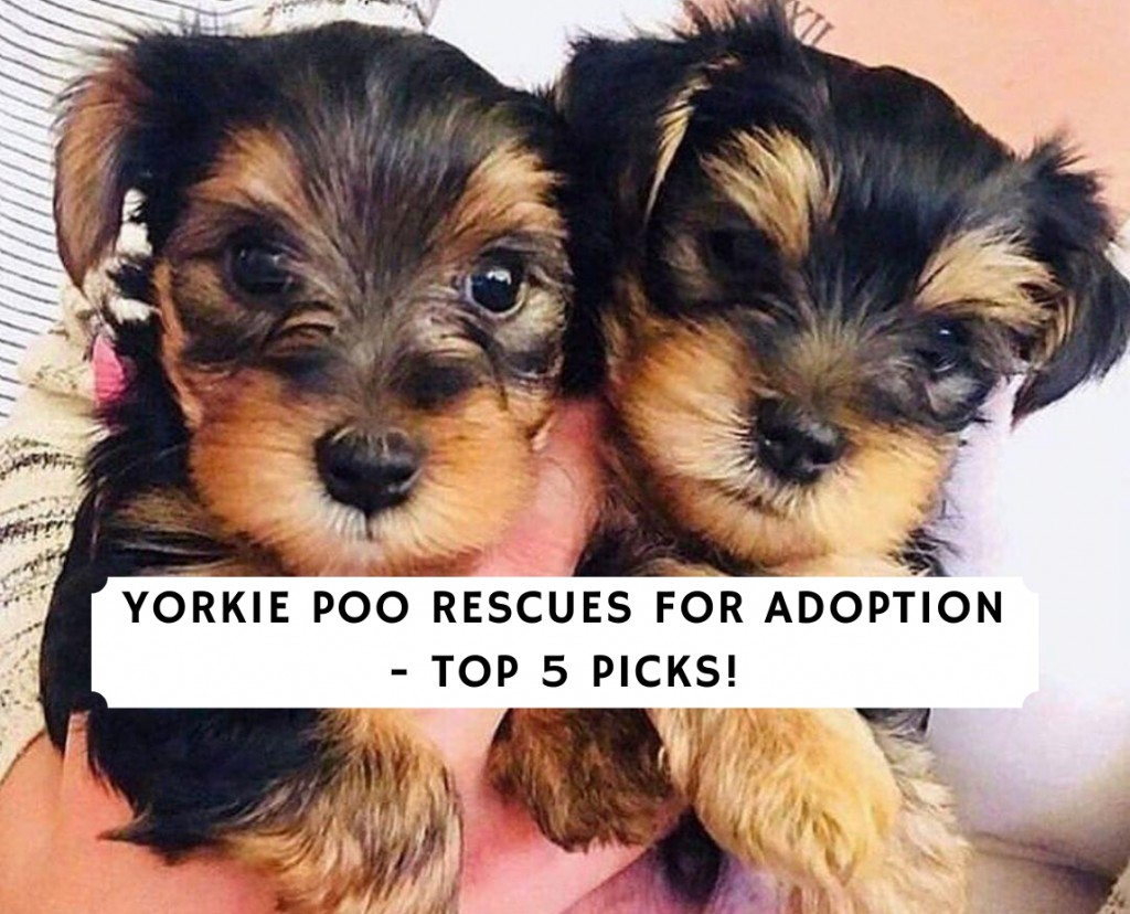 Yorkie Poo Rescues for Adoption