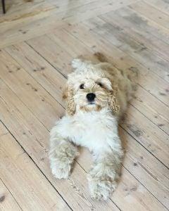 adopting a cockapoo puppy