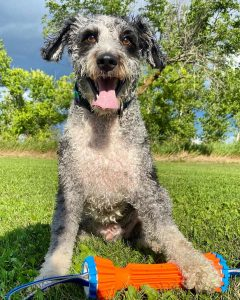 aussiedoodles for adoption