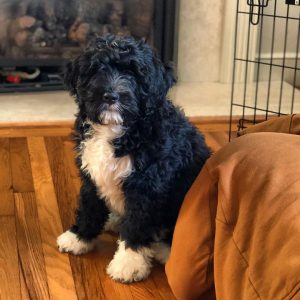 bernedoodle puppies illinois
