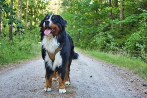 bernese mountain dog adoption
