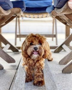 cavapoo breeders ohio