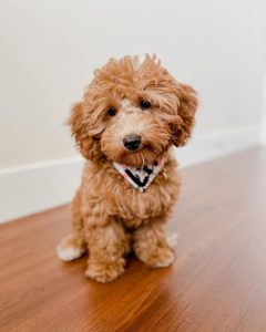 goldendoodle breeders colorado