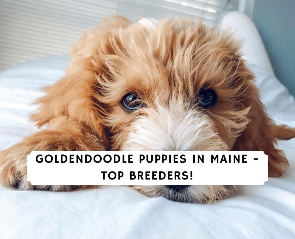 goldendoodle breeders in maine