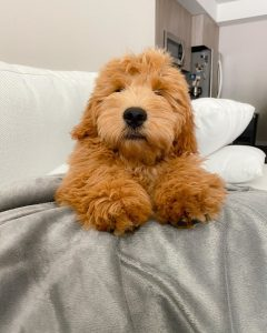 goldendoodle breeders missouri
