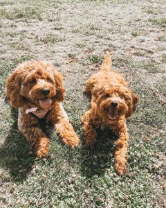 goldendoodle breeders new hampshire