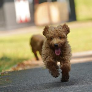 goldendoodle breeders tennessee