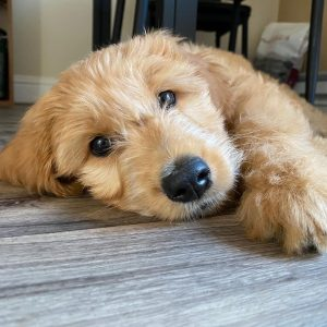 goldendoodle breeders virginia