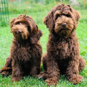 goldendoodle breeders wisconsin