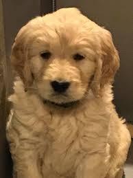 goldendoodle puppies in maine