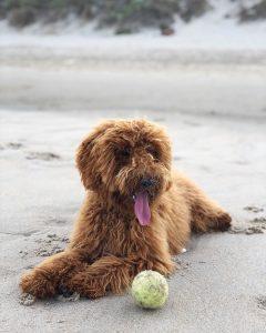 goldendoodle puppies massachusetts