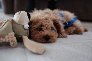 goldendoodle puppies mississippi