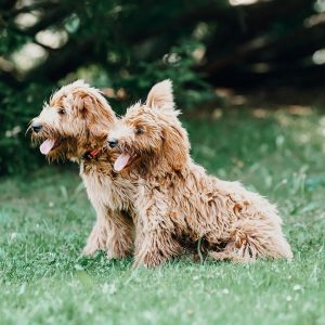 goldendoodle puppies new jersey