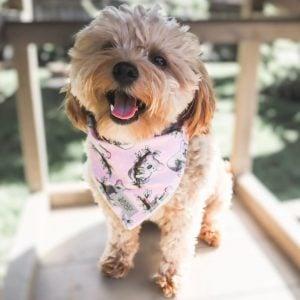 matipoo puppies florida