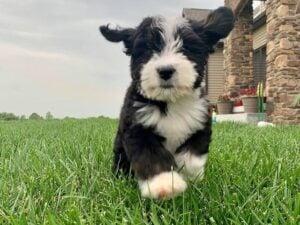 puppyspot bernedoodles michigan