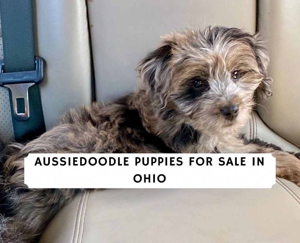 AUSSIEDOODLE PUPPIES FOR SALE in OHIO