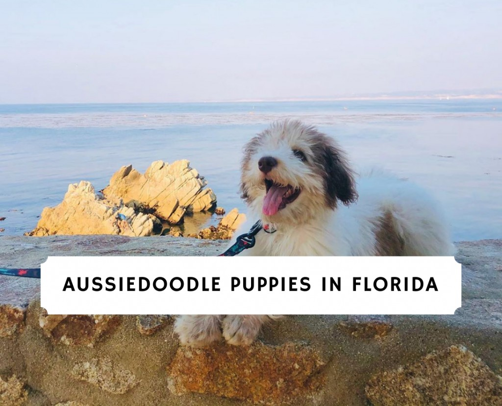 AUSSIEDOODLE PUPPIES IN FLORIDA