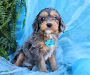 AUSSIEDOODLE PUPPIES FOR SALE IN FLORIDA