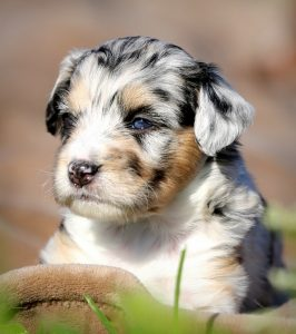 Aussiedoodle Breeder to choose from