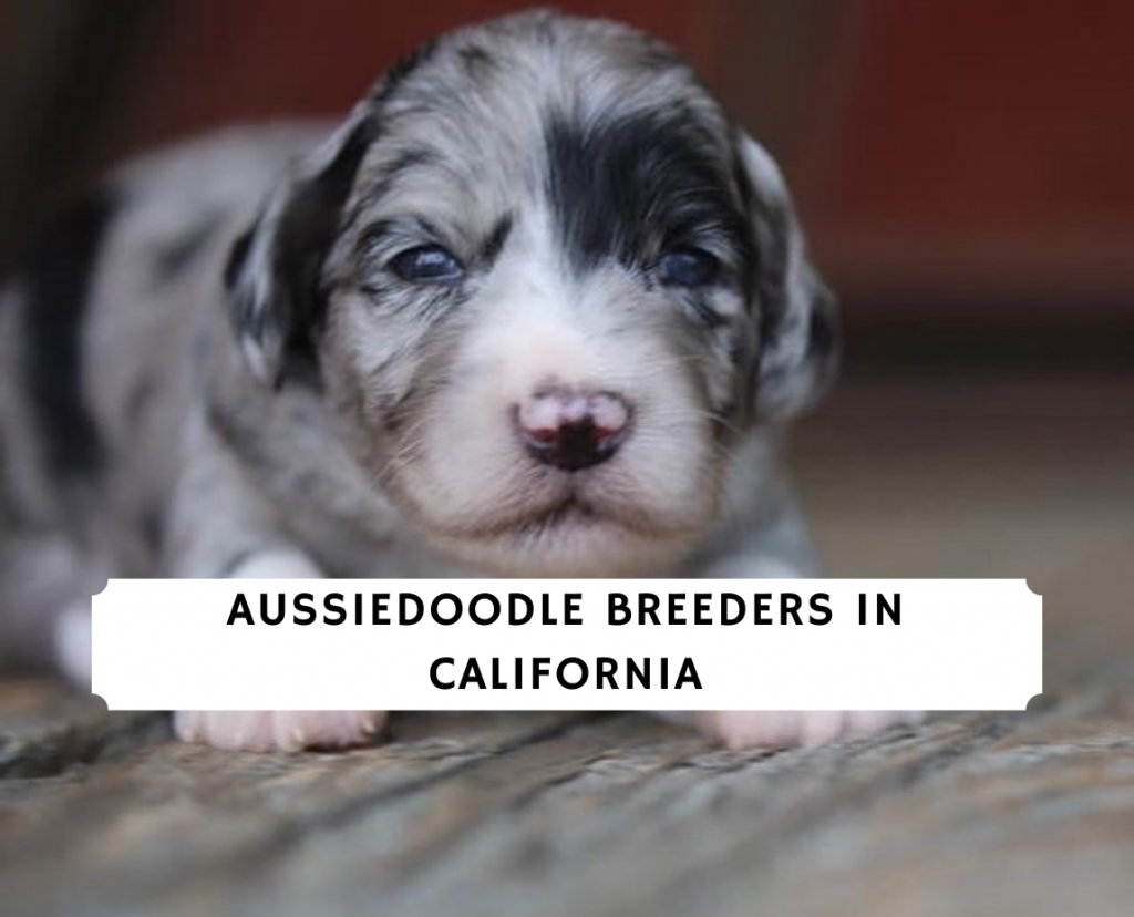 Aussiedoodle Breeders in California