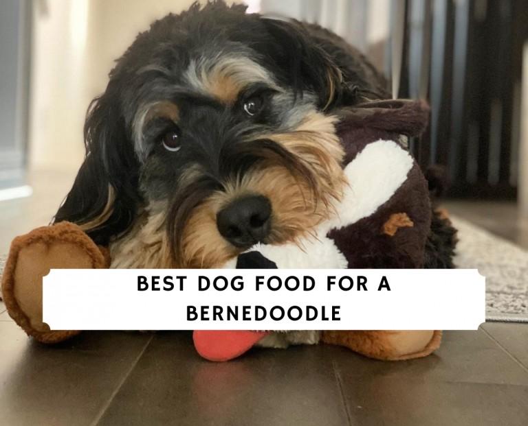 Best Dog Food for a Bernedoodle