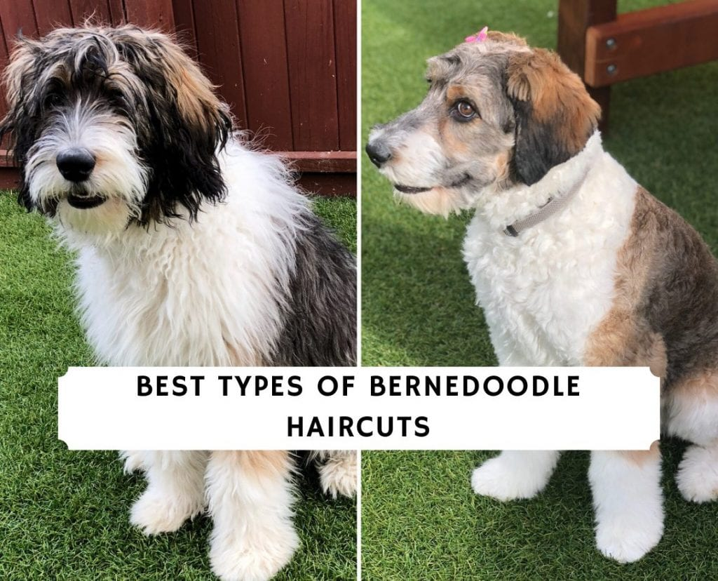 Best Types of Bernedoodle Haircuts