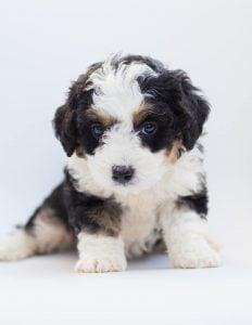 Bernedoodle Poodle Cut