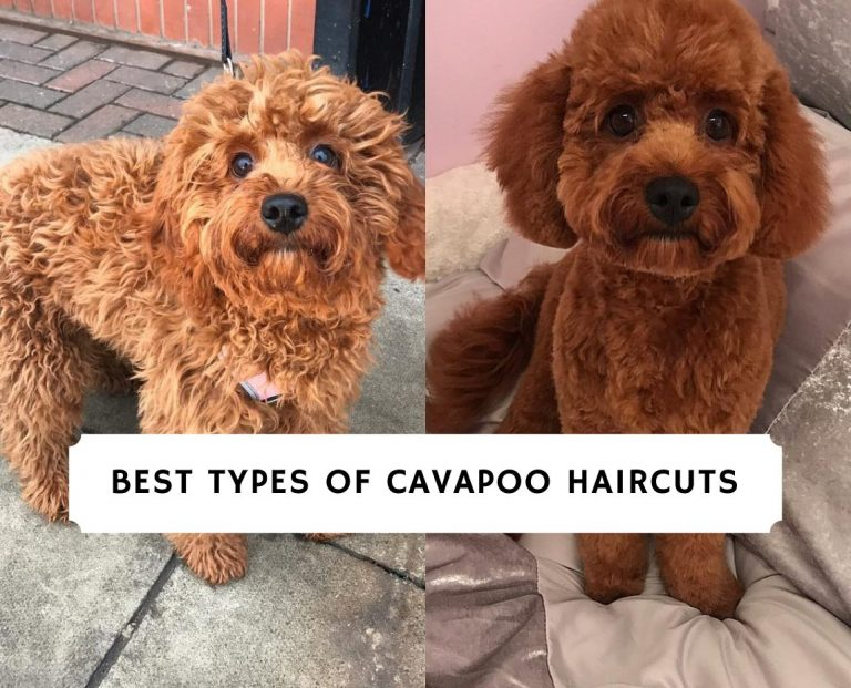 Best Types of Cavapoo Haircuts