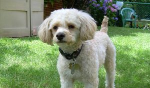 Cavapoo Haircut