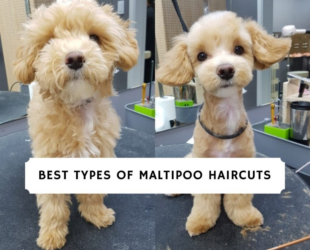Best Types Of Maltipoo Haircuts With Pictures 2021 We Love Doodles