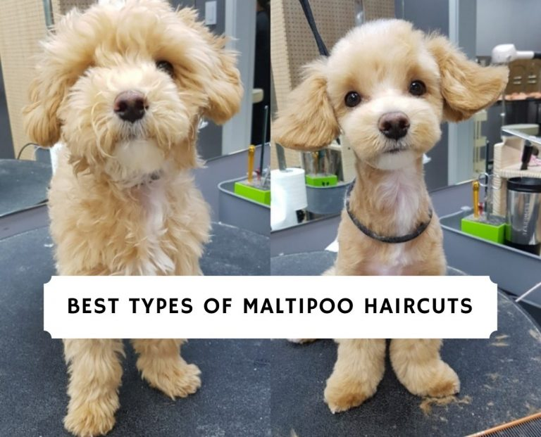 Best Types of Maltipoo Haircuts