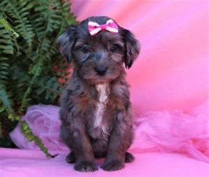 COMMON QUESTIONS ABOUT AUSSIEDOODLE PUPPIES FOR SALE
