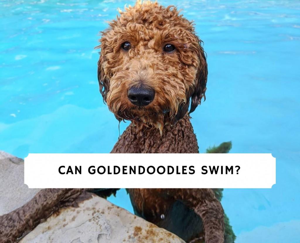 Can Goldendoodles swim_
